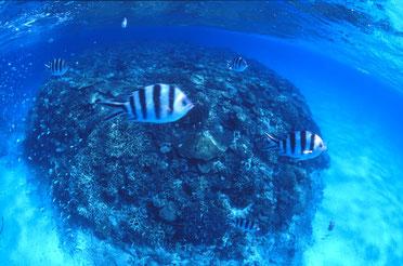 石垣島のサンゴ礁、黒島ブルー