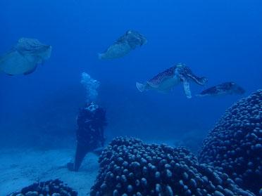 石垣島のコブシメ(コウイカ)の産卵シーン