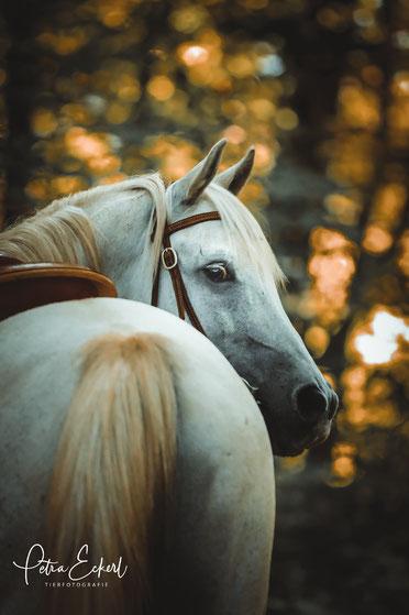 Pferdefotografie Pferd Pferde Pferdefotograf Fotoshooting München Bayern Südbayern