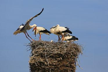 Weißstorch im Nest (Foto: Hans Schoenecker, LBV-Bildarchiv)