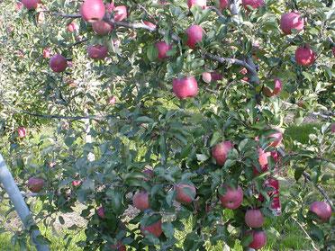 葉とらずりんご画像