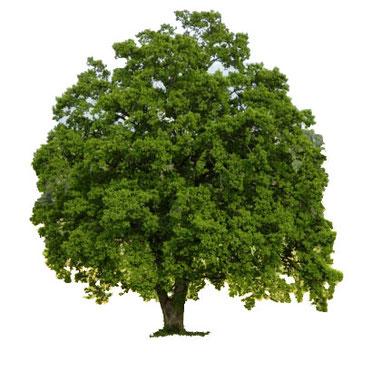 Stieleiche (Quercus robur) , Sommereiche, Deutsche Eiche