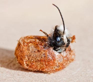 Mauerbiene Männchen Schlupf Kokon