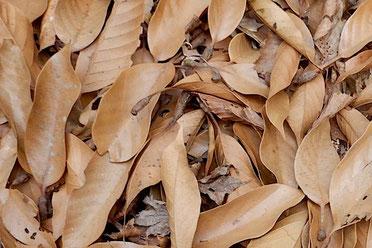 アカガシ 落ち葉