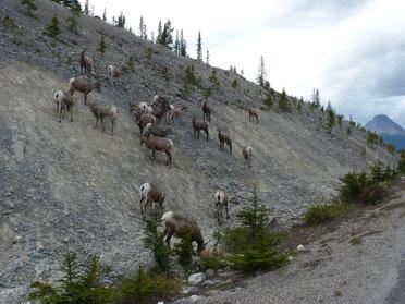 Les chèvres de montagne