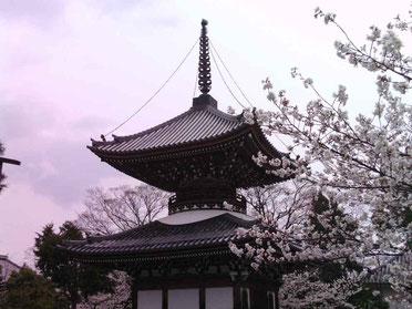The secret cherry blossoms of Kyoto