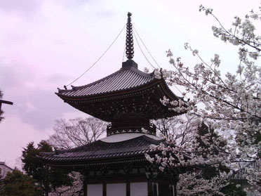 The secret cherry blossoms of Kyoto