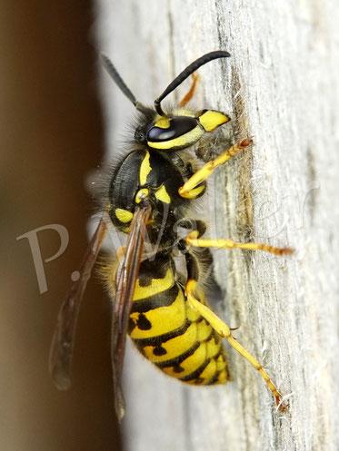 Bild: Wespe schabt sich hier Baumaterial vom Holz