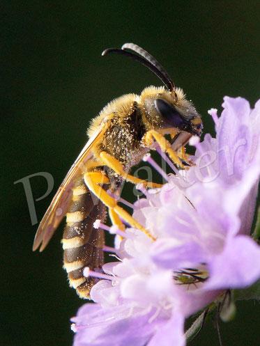 12.10.2019 : Gelbbindige Furchenbiene, Halictus scabiosae, Männchen, an einer Skabiosenblüte