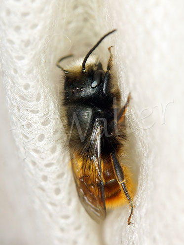 08.03.2019 : Männchen Nr.3 der Gehörnten Mauerbiene versteckt sich regensicher in einer Vliesfalte beim umwickelten Bienenbaum