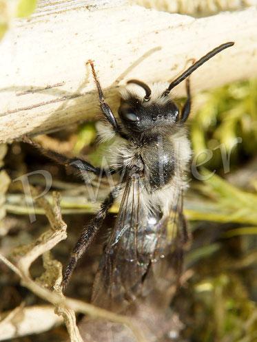 Bild: Männchen, Graue Sandbiene, Andrena cinearia