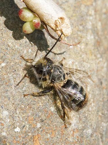 Bild: Mauerbiene, Männchen, leider voll mit Milben