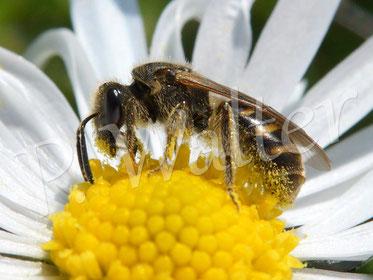 02.04.2016 : Furchenbiene am Gänseblümchen