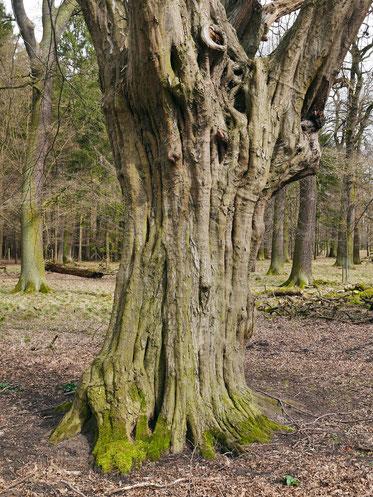 Hainbuche im Tiergarten Kirchrode in Hannover