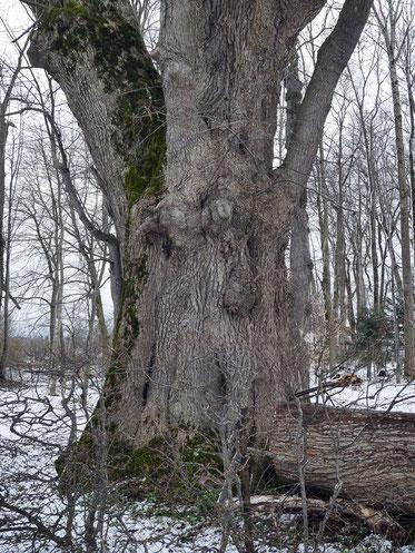 Linde im Schlosspark in Kißlegg