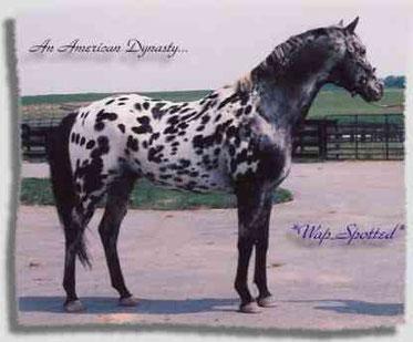 Wap Spotted Black Leopard Appaloosa Sport Hengst * Old-Line Appaloosa Sport Horse