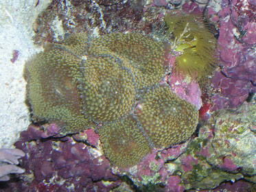 Caulestrea furcata brandy cane coral
