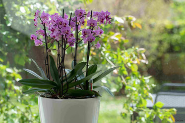 arrosage orchidée connecté avec OriCine® par trempage