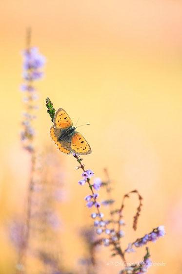 Kleiner Feuerfalter (Lycaena phlaeas) bei Sonnenschein