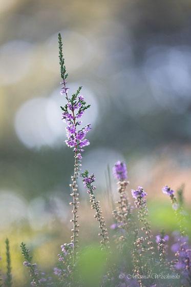 Besenheide (Calluna vulgaris) mit Flares im Hintergrund