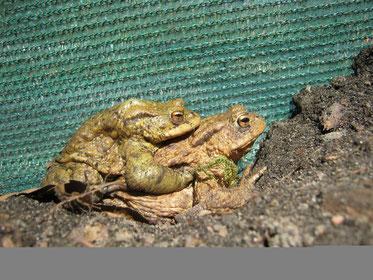 Erdkröten Doppeldecker - Tagsüber am Zaun (Foto: Brigitte Bender)