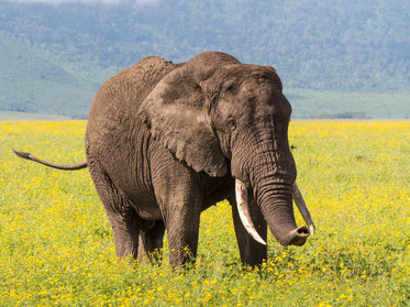 African elephant in Ngorogoro crater conservation area