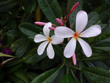 写真はハワイのプルメリア