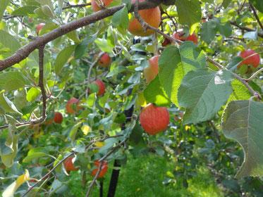 まずりんご園へ。りんご~可愛いや~♪