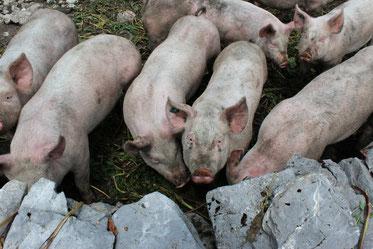 Schweine auf Rotenbalm