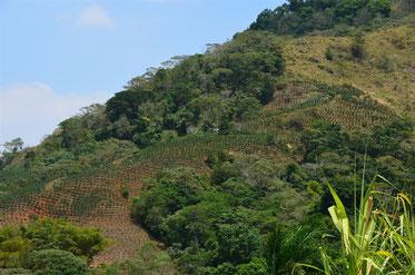 hier auf etwa 1.000 m Höhe wird unser Hochlandkaffee angebaut