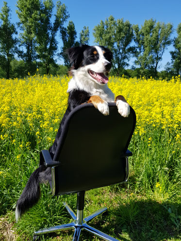 Hund Bürodrehstuhl Bürostuhl Rapsfeld Fotoshooting Büromöbel Bünex gebrauchte Büromöbel