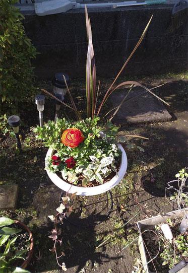 日差しが強すぎてハレーション起こしてますが、連休に作った寄せ植えその1。一目惚れしたラナンキュラスをメインにしました。