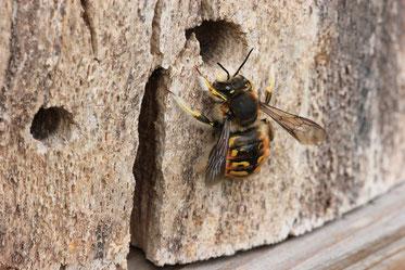 Foto: Garten-Wollbiene von Volker Unterladstetter