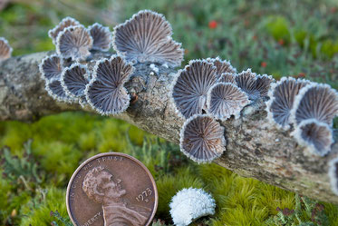 Common Split Gill mushrooms (Schizophyllum commune) on a fallen sugar maple branch. The white next to the penny is the top of a Split Gill.