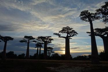 環境の変化から自然死が増えるバウバブの巨木たち