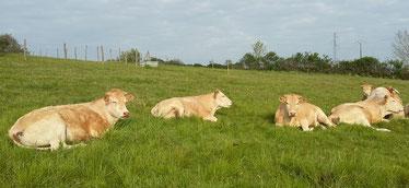 Vaches Blondes d'Aquitaine au repos dans les prairies de la Ferme COUTANT And Cow