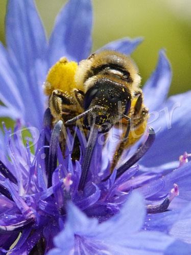 Bild: Weibchen der Gelbbindigen Furchenbiene, Halictus scabiosae, an einer Kornblume