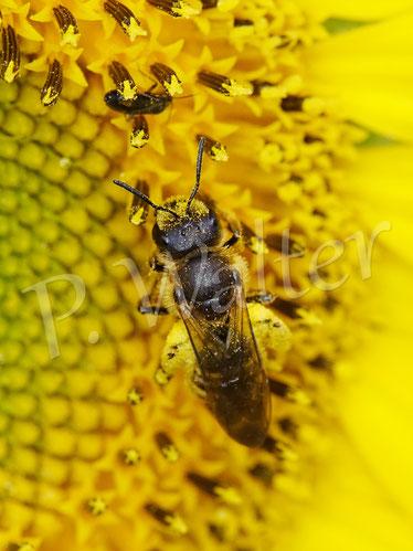 Bild: ein Weibchen der Gelbbindigen Furchenbiene, Halictus scabiosae, trinkt Nektar an einer Sonnenblume