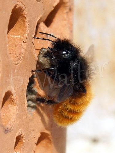 Bild: Gehörnte Mauerbiene, Osmia Cornuta, Weibchen, mit Lehmklumpen zum Verschließen des Nistgangs