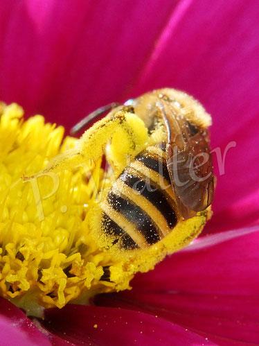 21.07.2019 : Weibchen der Gelbbindigen Furchenbiene auf einer Cosmeenblüte, hier ist deutlich die namensgebende Furche zu sehen