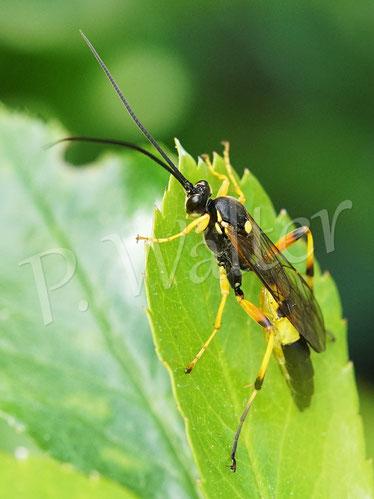 Bild: Gelbe Schlupfwespe (Amblyteles armatorius)