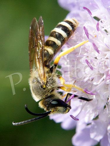 Bild: Männchen, Gelbbindige Furchenbiene, Halictus scabiosae, an einer Skabiose
