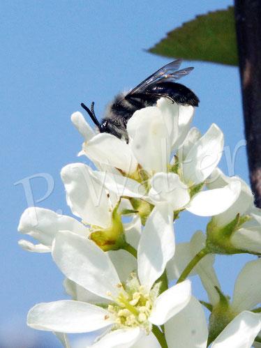 Bild: Graue Sandbiene, Andrena cinearia an den Blüten der Felsenbirne