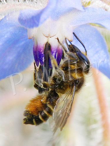 Bild: Blattschneiderbiene, Megachile, Borretsch