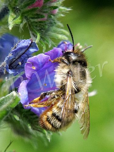 Bild: Mauerbienenart, Osmia spec., am Natternkopf