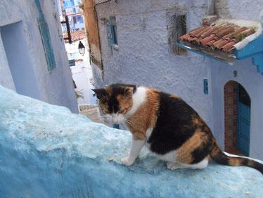 モロッコ旅行/シャウエン旧市街のネコ