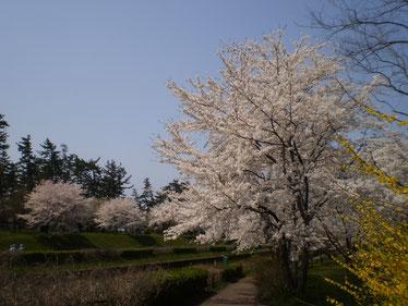 今日の「新堀川公園」。お花見の隠れスポット。(画像をクリックして拡大)