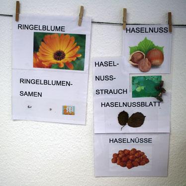 Die Ringelblume und Haselnuss, Samen und Nüsse.