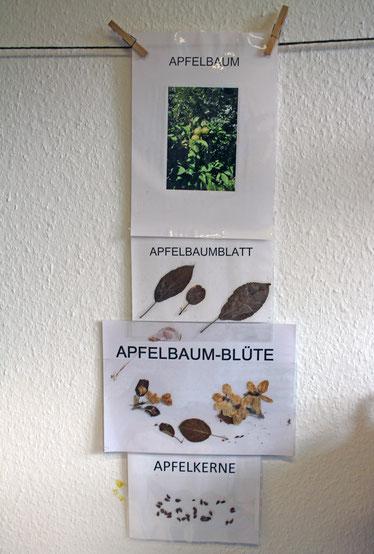 Der Apfelbaum im Detail: Baum, Blätter, Blüten und die Samen, die sogenannten Apfelkerne, aus denen ein neuer Baum wachsen kann.
