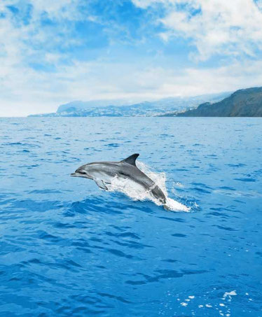 dolphin-wales-watching-best-things-to-do-madeira-island-portugal